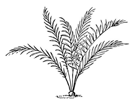 This is the leaves of Macrozamia Spiralis. The leaves are bright green color, vintage line drawing or engraving illustration. Ilustrace