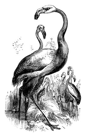 American Flamingo is a large wading bird known for its red or pink feathers, vintage line drawing or engraving illustration.