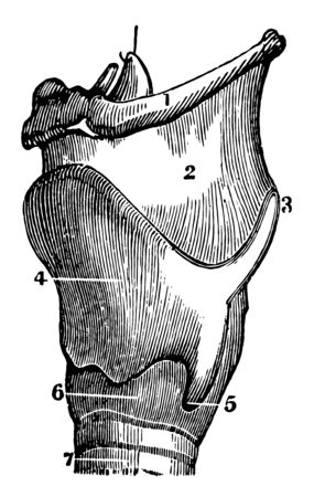 A side view of the cartilages of the larynx, vintage line drawing or engraving illustration. Ilustracja