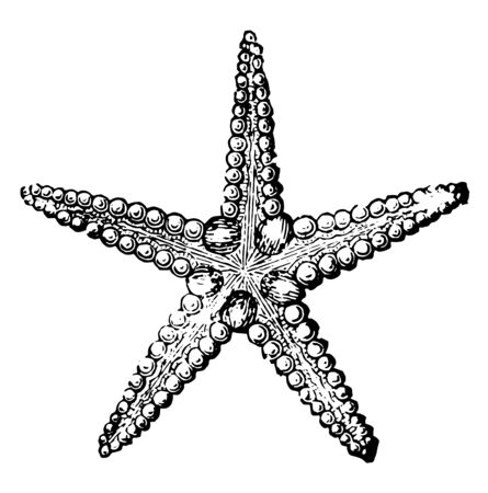 The common starfish is a five rayed star. The central body is called the disk and the arms are the rays. The upper surface may be smooth, granular or spiny, vintage line drawing or engraving illustrat  イラスト・ベクター素材