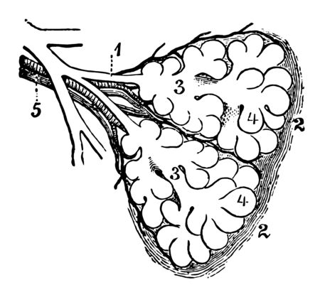 This illustration represents Diagram of the Two Primary Lobules of the Lung, vintage line drawing or engraving illustration. Illusztráció
