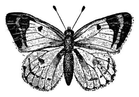 Colias Hyale Butterfly, que es una mariposa de la familia Pieridae, línea vintage de dibujo o ilustración de grabado.