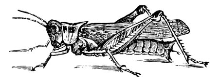 Red Legged Grasshopper is an insect in the Acrididae family of grasshoppers, vintage line drawing or engraving illustration.