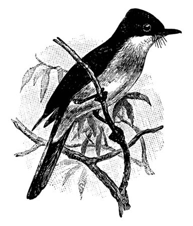 Restless Flycatcher is a passerine bird in the Monarchidae family, vintage line drawing or engraving illustration.