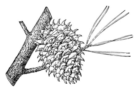 Picture of short-stalked, Pricky Pine Cones, vintage line drawing or engraving illustration.