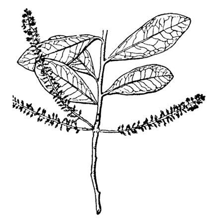 A flowering plant with big leaves, vintage line drawing or engraving illustration. Ilustrace