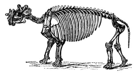 Dinoceras Skeleton which is an extinct genus of herbivorous mammal that lived during the Eocene epoch, vintage line drawing or engraving illustration.