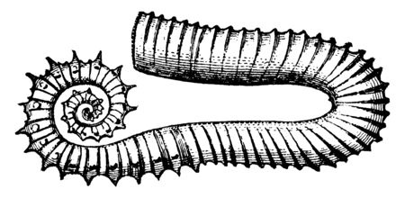 Ancyloceras is a genus of fossil terebranchiate cephalopods, vintage line drawing or engraving illustration.