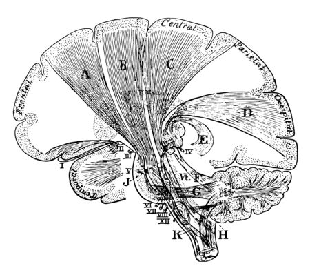 Diagram of the projection fibers of the cerebrum, vintage line drawing or engraving illustration. 写真素材 - 133020694