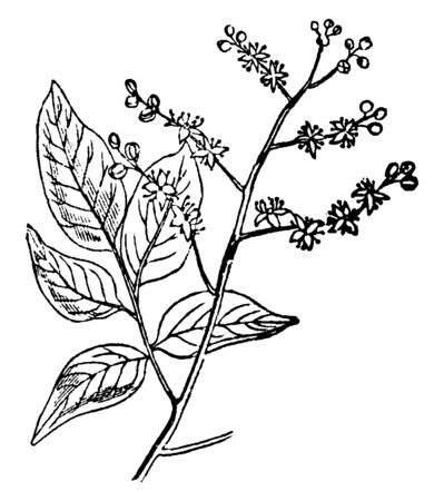 This is branch of Copaiva Tree and it has small flowers and leaves. It is very useful in medicines, vintage line drawing or engraving illustration.