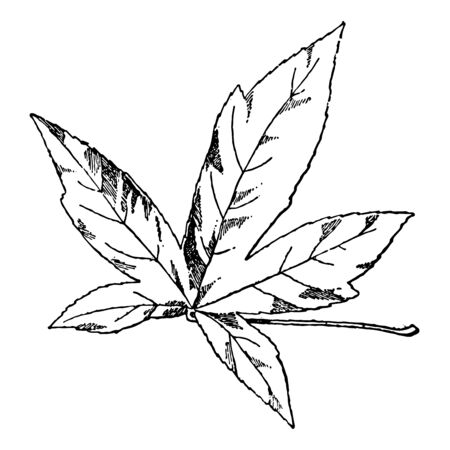 In this image is the Leaf of the Amber tree, vintage line drawing or engraving illustration.