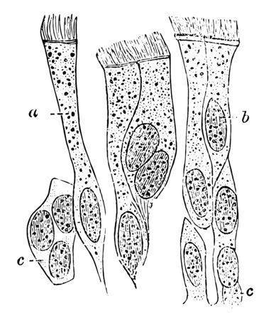 Ciliated epithelium from the human trachea, vintage line drawing or engraving illustration.