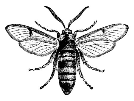 Hornet Moth which is a large moth with a striking imitation of a hornet, vintage line drawing or engraving illustration.