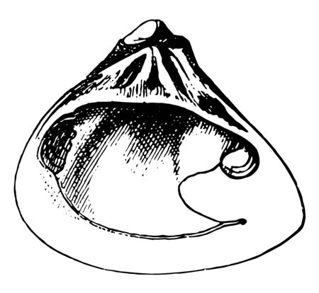 Right Valve of Galatea Bivalve is a species of bivalve mollusk in the Donacidae family of bean clams, vintage line drawing or engraving illustration. Ilustracja