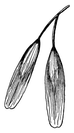 A picture of Blue Ash Fruit known as Samara, vintage line drawing or engraving illustration. Ilustracja