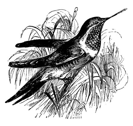Ruby Throated Hummingbird is a bird with a long beak and rapid wings, vintage line drawing or engraving illustration.
