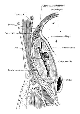 This illustration represents Frontal Section Through Kidney, vintage line drawing or engraving illustration.