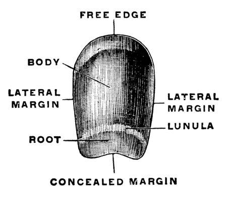 This illustration represents Fingernail, vintage line drawing or engraving illustration.
