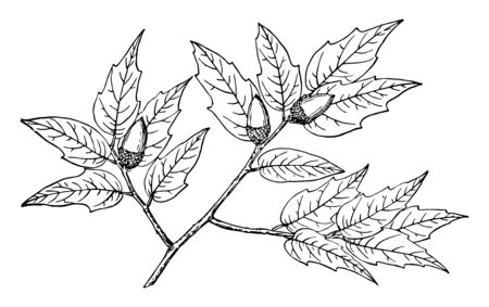 Long, wavy toothed leaves with nuts which look like pine, vintage line drawing or engraving illustration. Ilustração