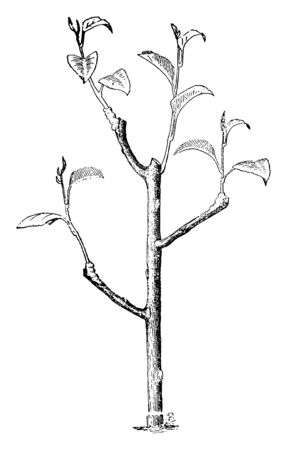 This is a tree in the frame. That tree has many branches and leaves them, vintage line drawing or engraving illustration.