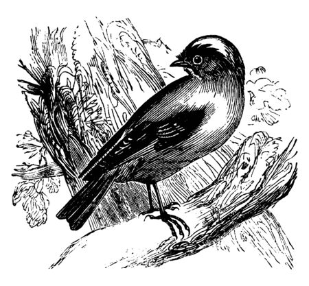 This illustration represents Gold Crested Wren, vintage line drawing or engraving illustration.