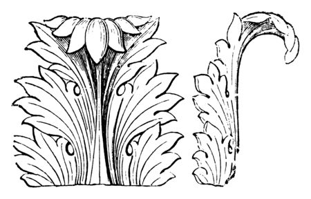 Acanthus Leaf, Front and Side Views, The acanthus is one of the most common ornaments, the plant is traditionally displayed at funerary celebrations,  leaves represent pain, sin and punishment, vintage line drawing or engraving illustration.
