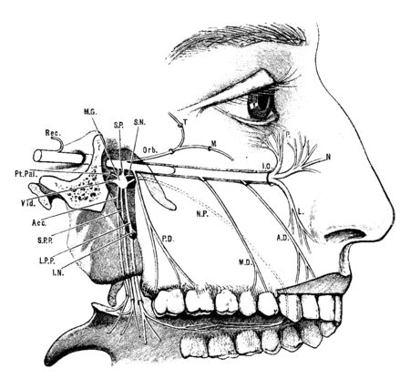 This illustration represents Superior Maxillary Nerve, vintage line drawing or engraving illustration.