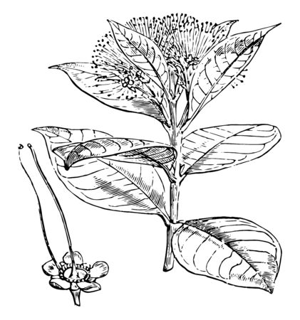 Leaf of Ceylon ironwood, tropical tree of the Garcinia family (Clusiaceae), cultivated in tropical climates for its form, foliage, and fragrant flowers, vintage line drawing or engraving illustration. Çizim