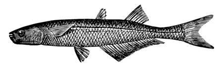 Atlantic Silverside is a common fish in the Atherinopsidae family of neotropical silversides, vintage line drawing or engraving illustration.