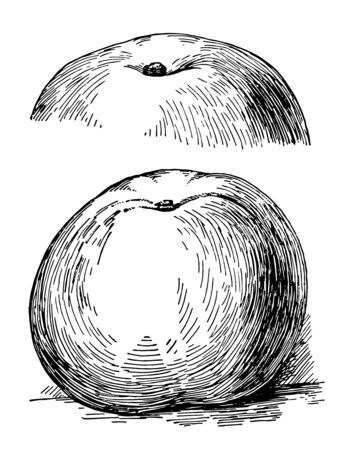 In this image is a Yellow Newtown apple, vintage line drawing or engraving illustration.