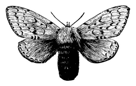 Female Gipsy Moth is larger and heavier than the male, vintage line drawing or engraving illustration.