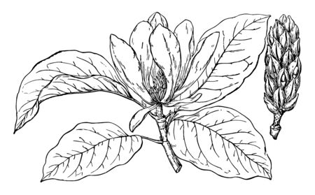 Picture of Magnolia Acuminata. Fruits of it are called Cucumber. This fruit has distinctive cones and bark is channeled, vintage line drawing or engraving illustration.