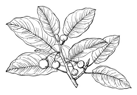 A branch of Figs with multiple Figs, vintage line drawing or engraving illustration. Banque d'images - 133020548