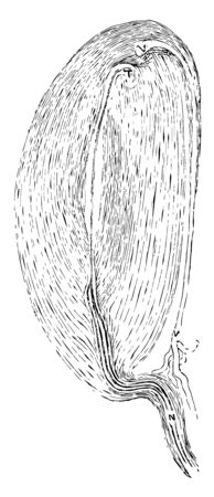 The Pacinian bodies or corpuscles are elongated oval bodies situated on some of the cerebrospinal and sympathetic nerves, vintage line drawing or engraving illustration.