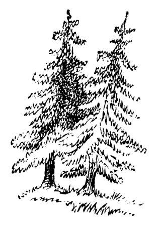 Two fir trees, vintage line drawing or engraving illustration. Иллюстрация