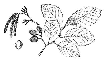 Branches of a gray alder, vintage line drawing or engraving illustration.