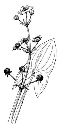 A plant found in shallow wetlands and is sometimes known as broadleaf arrowhead, vintage line drawing or engraving illustration.