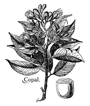 This is branch of Copal named to resin tree. It is useful in various varnishes, vintage line drawing or engraving illustration. Illustration