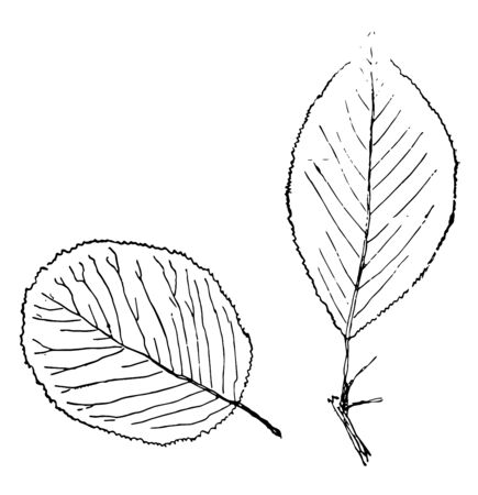 Two leaves picture - one of them is of egg shape and other one is pointed, vintage line drawing or engraving illustration.
