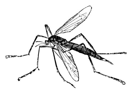 Crane Fly live in water during their larval condition, vintage line drawing or engraving illustration.