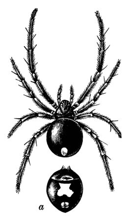 Female black widow spider are also known as Latrodectus. These spiders vary in size, the females are dark-coloured . Their body is divided in 2 regions, head & chest, vintage line drawing or engraving illustration.