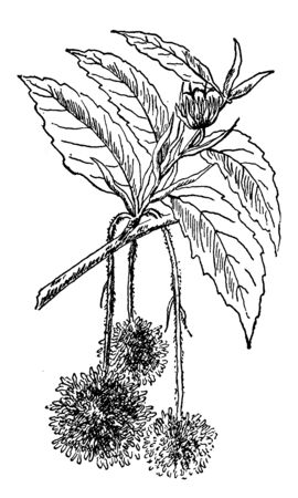 This shows the staminate and Pistillate flower cluster of the Beech. This is very beautiful flowers, vintage line drawing or engraving illustration. Ilustração
