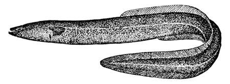 Common Eel length of 1.5 m in exceptional cases, vintage line drawing or engraving illustration. Ilustração