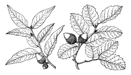Interior live Oak, native to western North America. They are usually shrubby but may reach 15 to 25 m or more, vintage line drawing or engraving illustration.