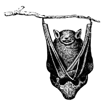 Bats are mammals of the order Chiroptera whose forelimbs form webbed wings, vintage line drawing or engraving illustration. Ilustração