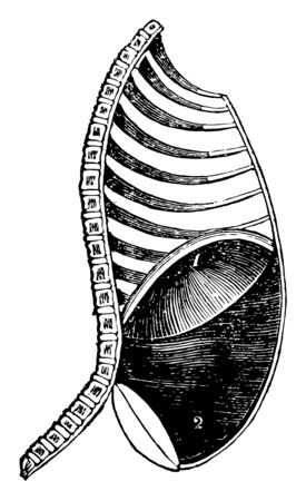 This illustration represents Diaphragm During Inspiration, vintage line drawing or engraving illustration.