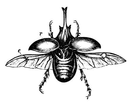 Escarabajo centauro encontrado en África tropical, línea vintage de dibujo o ilustración de grabado. Ilustración de vector
