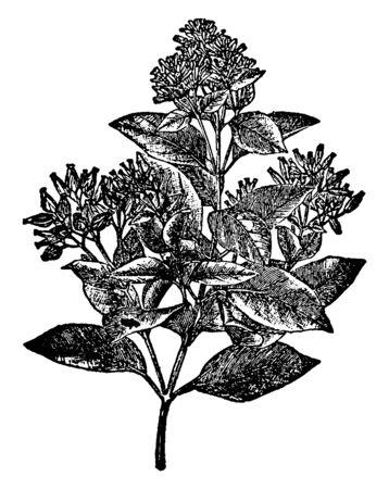 A picture of well-groomed plant with thick leaves and bunch of flowers, vintage line drawing or engraving illustration. Illusztráció
