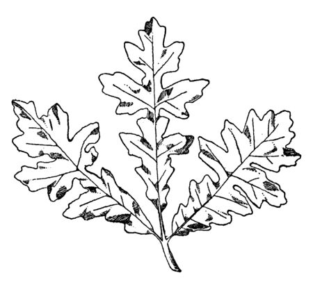 Spray of Bitter Oak were often used on friezes and cornices, vintage line drawing or engraving illustration.