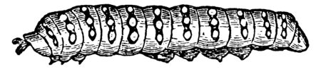 Smooth Caterpillar where the body is cylinder and divided by rings into thirteen segments, vintage line drawing or engraving illustration.
